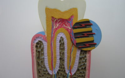 1992 – Une dent, comment c'est fait et comment ça se déplace ?